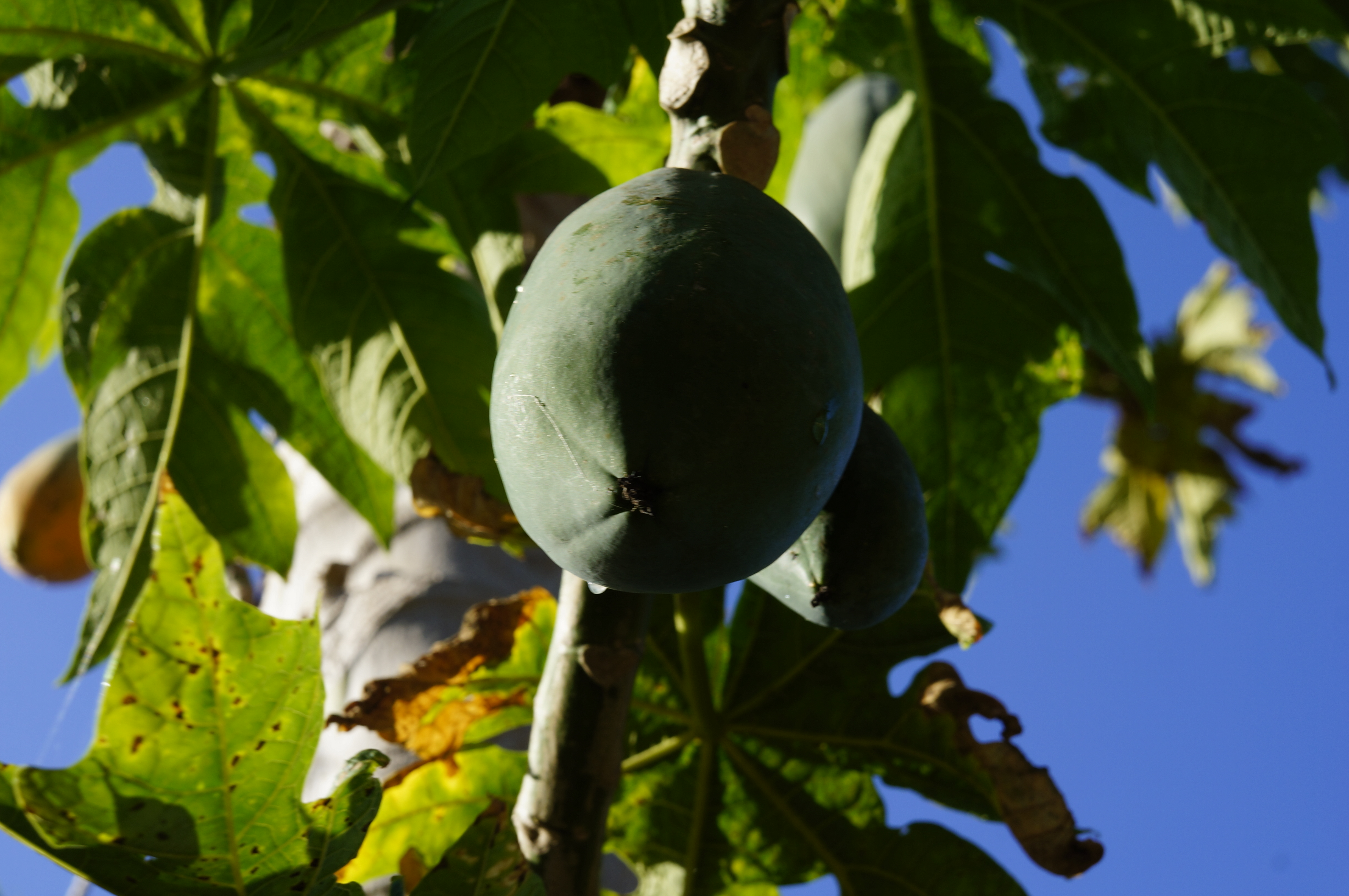 What are the best fruit trees to grow in Florida?